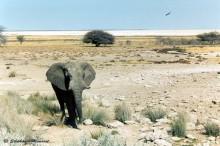 Eléphant solitaire du parc d'Etosha
